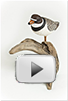 Piping Plover thumbnail with play icon